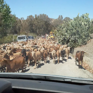 Goats in Andalucia